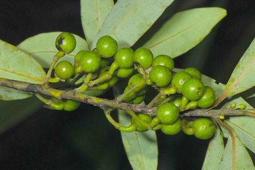 山苍子油 Litsea cubeba oil