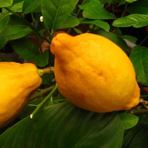 柠檬油 Lemon oil